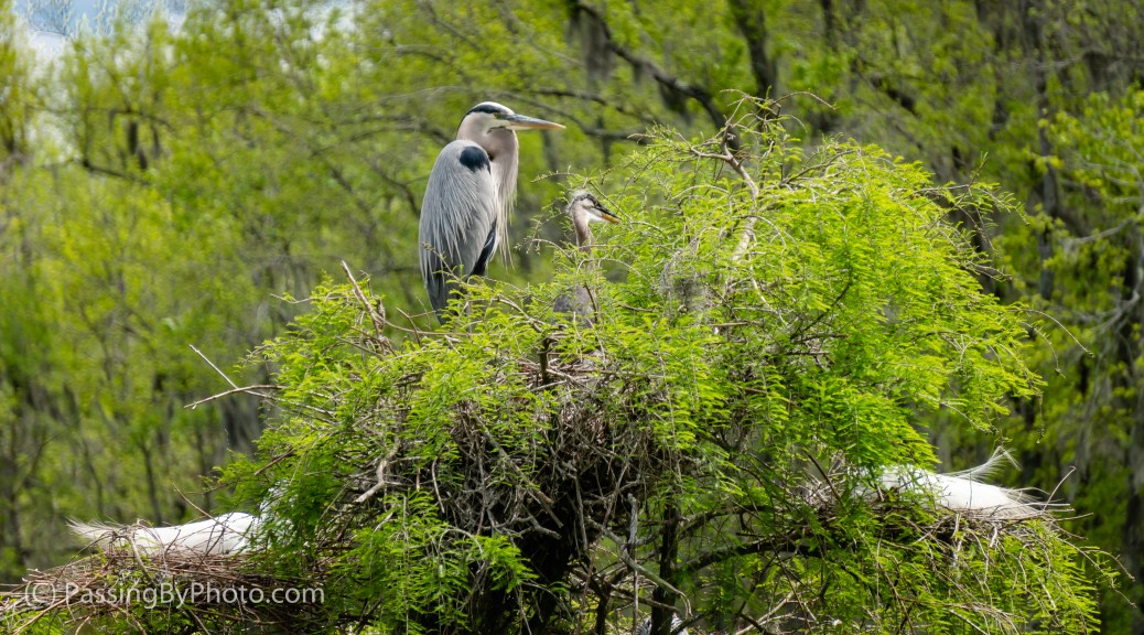 Great Blue Heron Watching Over Chick