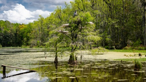 Great Blue Heron and Great Egrets Nesting in Swamp