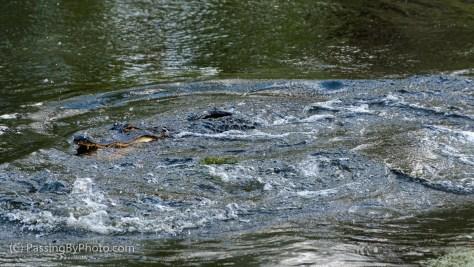 Alligator Rumble