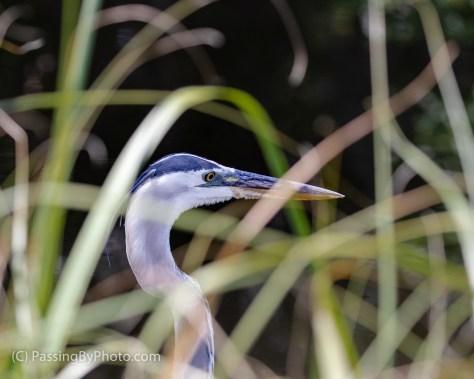 Great Blue Heron Fishing