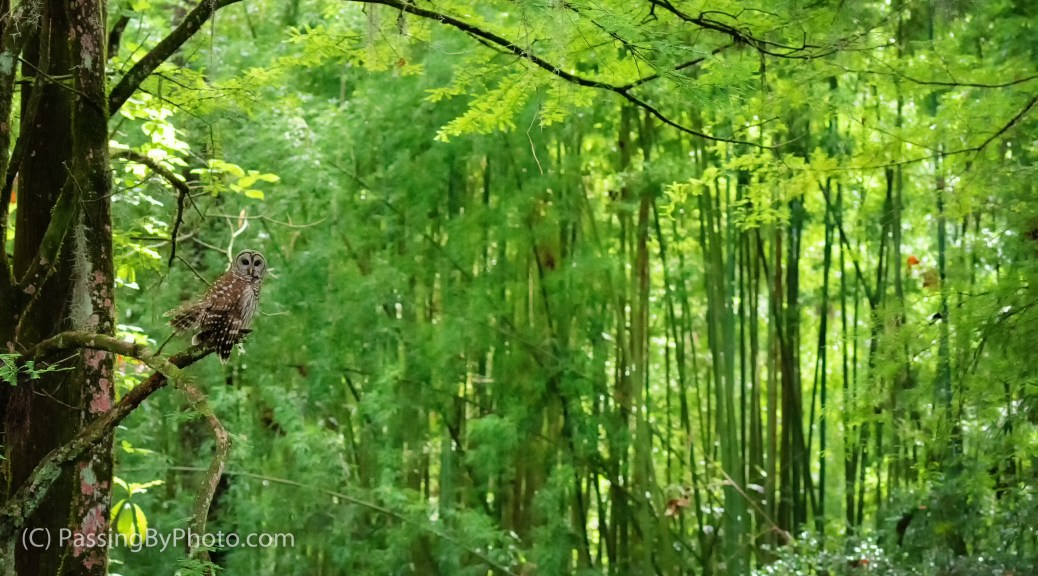Barred Owl, Bamboo Stand, After Rain