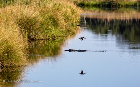 Alligator and Grackle Times Two