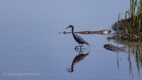 Little Blue Heron and Alligator