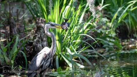 Great Blue Heron with Fish