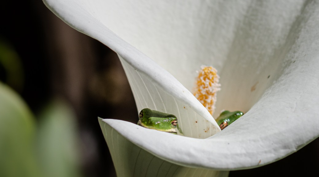 Tree Frogs in Calla Lily