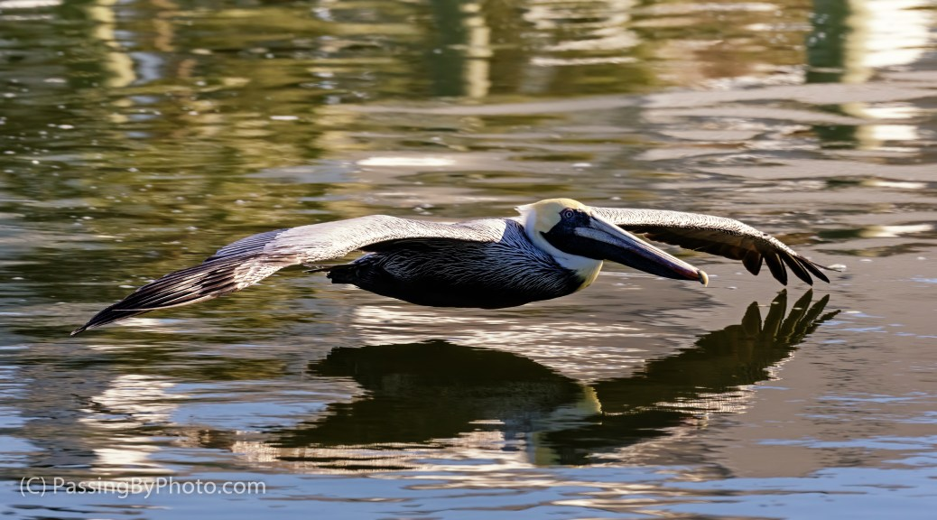 Brown Pelican Gliding Over Creek