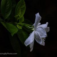 Gardenia Blossom, After A Rain