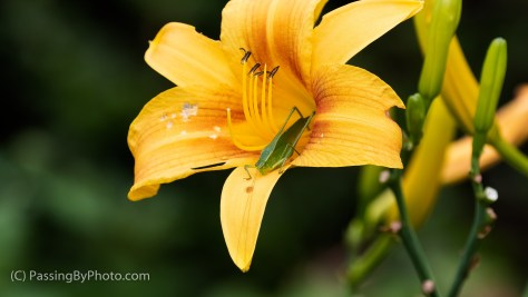 Katydid on Orange Daylily