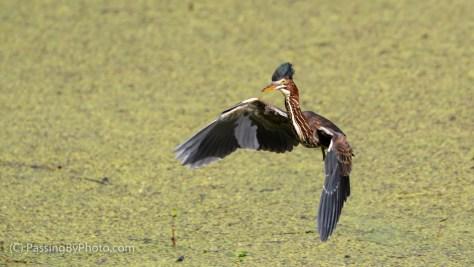 Green Heron Landing