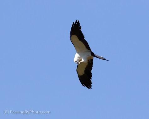 Swallow-tailed Kite Feeding