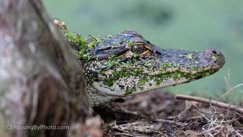 Young Alligator, Duckweed