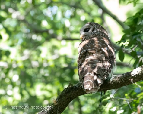 Barred Owl with Skink