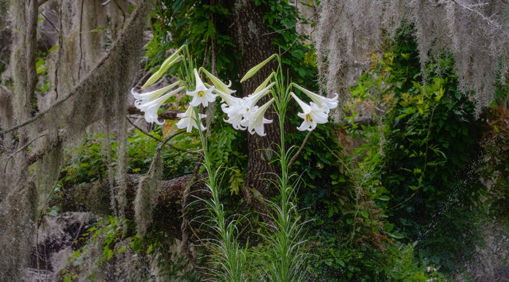 Tall White Lily