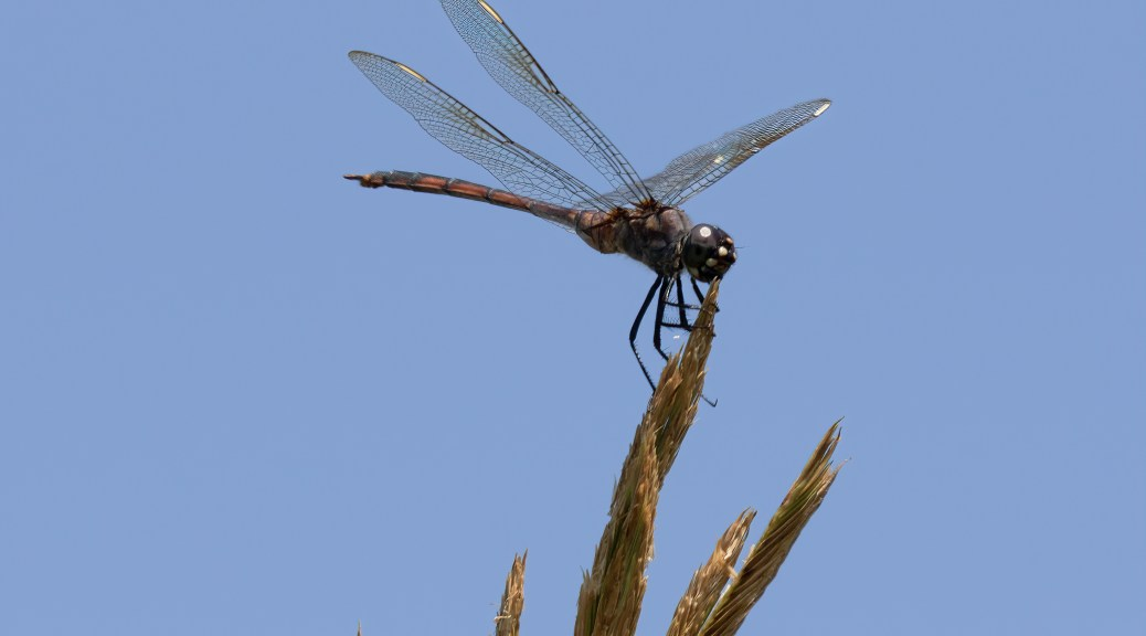 Dragonfly on Grass Seeds