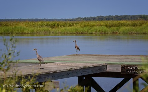 Juvenile Yellow-crowned Night Herons on Dock