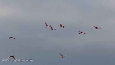Roseate Spoonbills In Flight