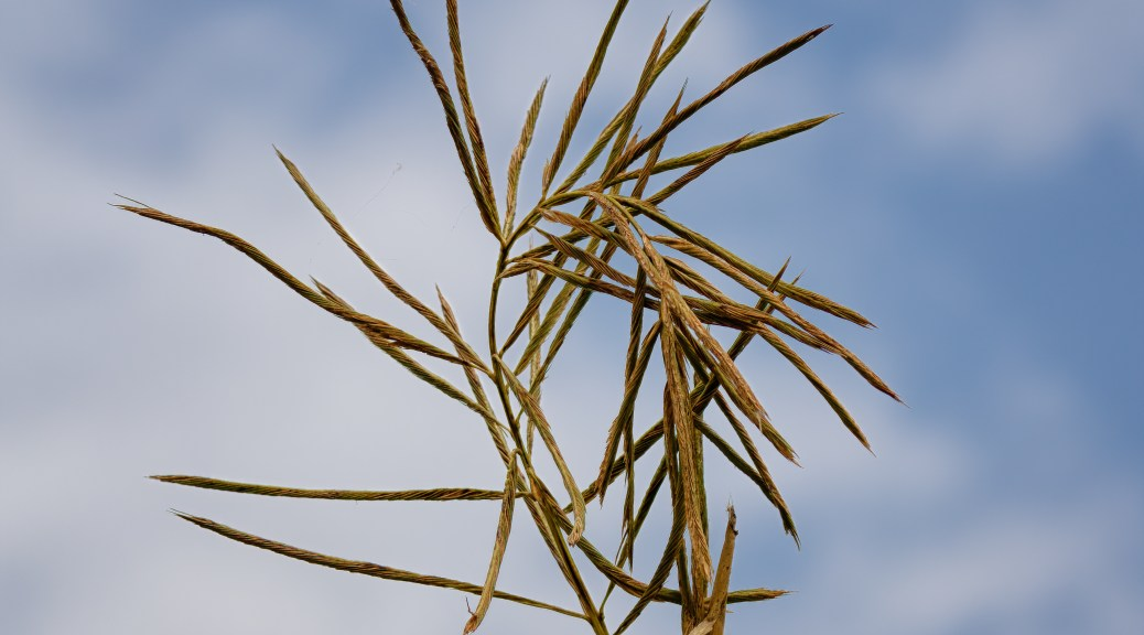Unfurling Reed Seed Head