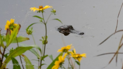 Juvenile Alligator with Swamp Sunflowers