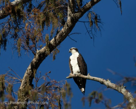 Osprey Perched Over My Head