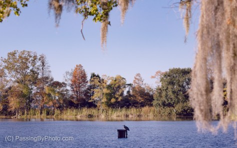 Fall Pond Scene, Great Blue Heron on Ramp