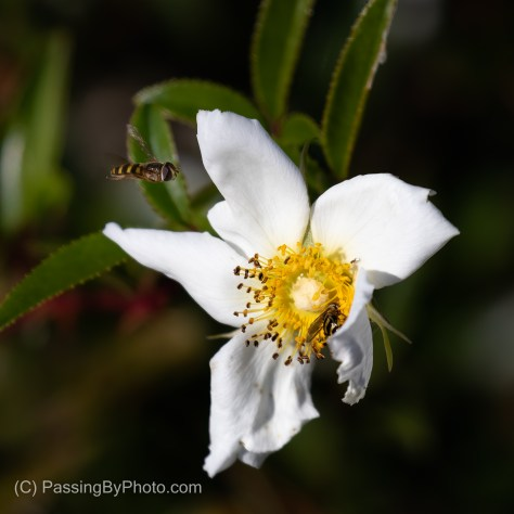 Bees on White Flower