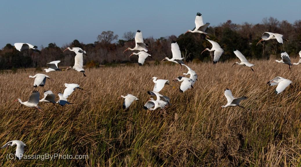 White Ibis and Snow Egrets