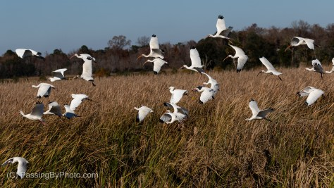 White Ibis and Snow Egrets