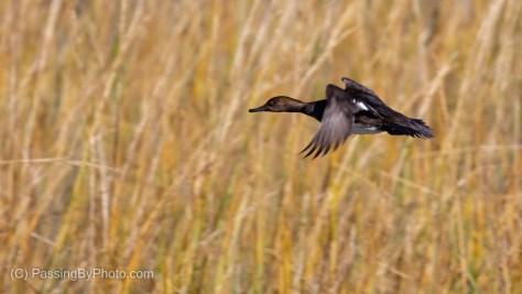 Duck in Flight
