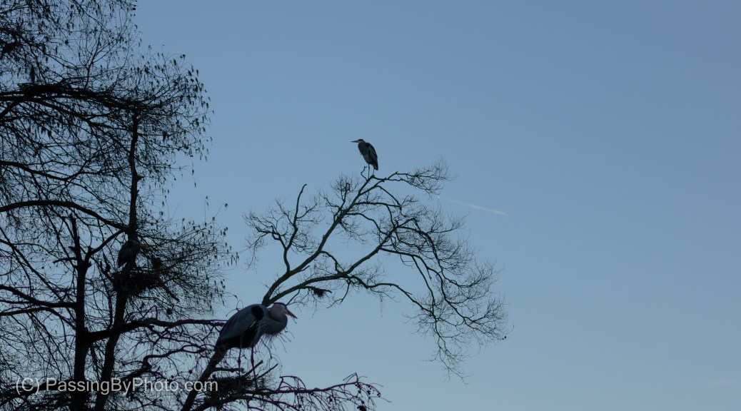 Great Blue Heron Rookery, in Blue