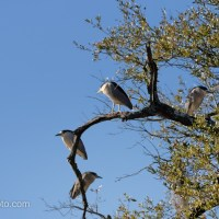 Black-crowned Night-heron Gathering