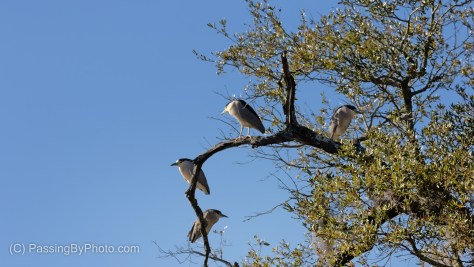 Black-crowned Night-Herons In Tree