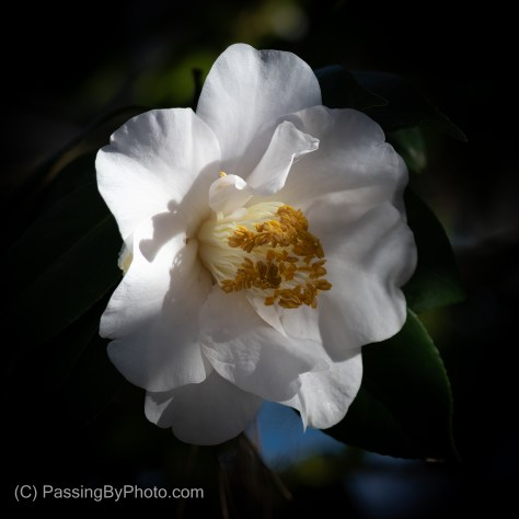 January White Camellia Bloom
