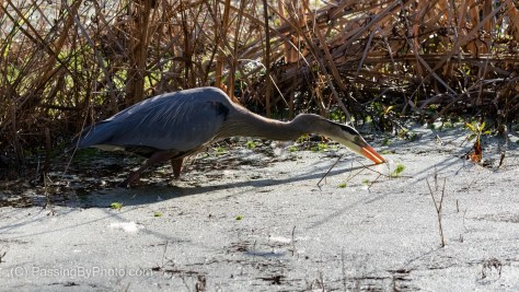 Great Blue Heron Getting a Snack