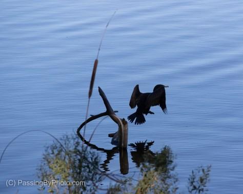 Cormorant, Blue Water
