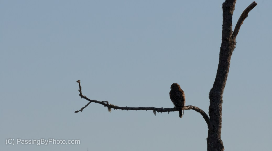 Red-shouldered Hawk at First Light