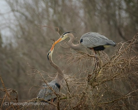 Great Blue Heron Bringing Stick to Mate for Nest