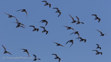 Flying Plovers