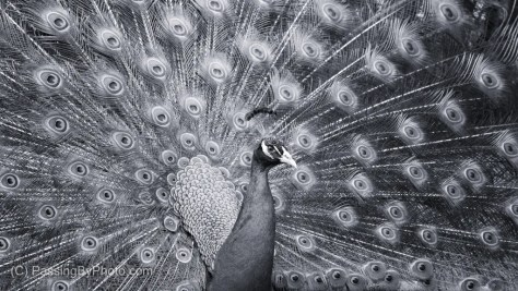 Peacock, Black and White