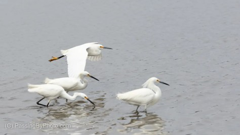 Snowy Egret Flying Past Three Snowy Egrets