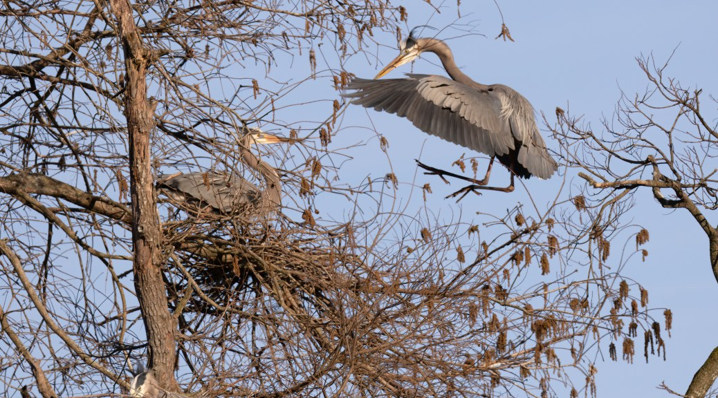 Great Blue Heron Flying With Nest Material