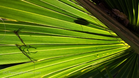 Tree Frog Shadow Through Palm Frond