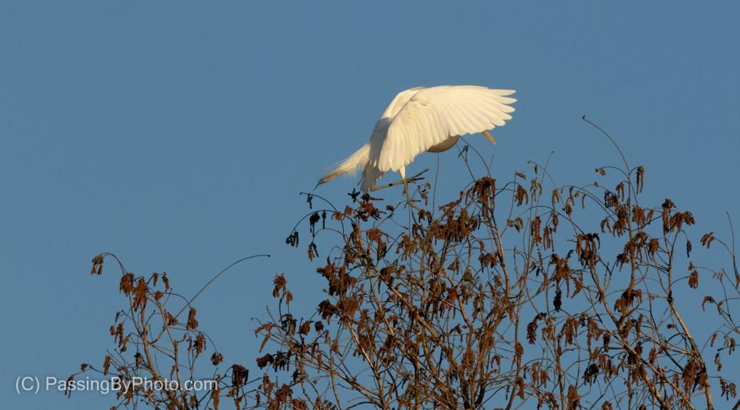 Great Egret Landing in Tree Top