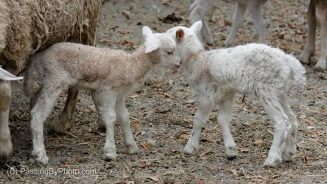 Two Newborn Lambs
