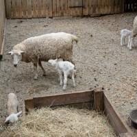 Three Little Lambs, 1