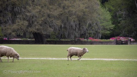 Sheep on the Lawn, Azaleas