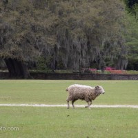 Sheep On The Lawn, Middleton Place