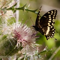 Black Swallowtail Butterfly on Thistle, Year 2
