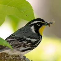 Yellow-throated Warbler, Bringing Home the Lunch