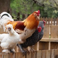 Colorful Barnyard Chickens