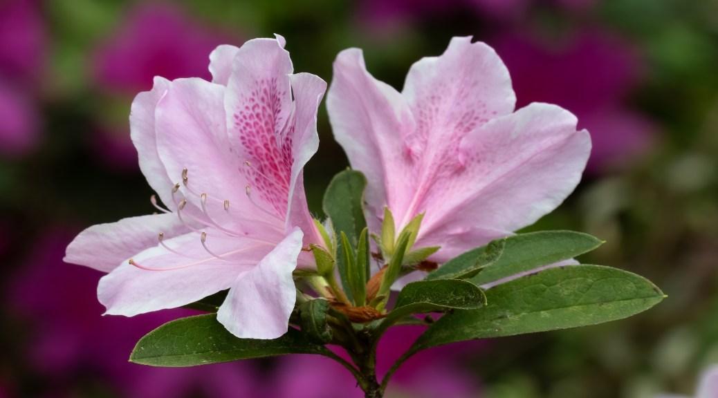 Pink Azalea Blossom